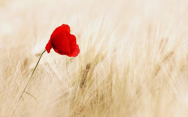 Papavero: descrizione e significato del fiore